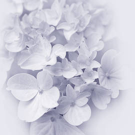 Hydrangea Flowers Lavender Delight  by Jennie Marie Schell