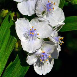 I Love Spiderworts  by Byron Varvarigos