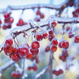 Alana Ranney - Ice Covered Crab Apples