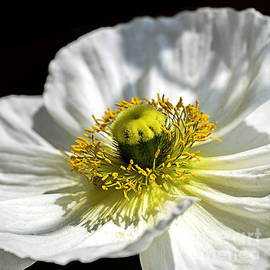 Iceland White Poppy by Julie Palencia