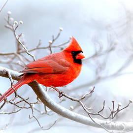 Travis Truelove - IMG 2259-22 - Northern Cardinal