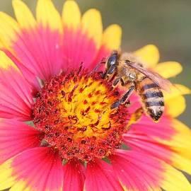 Indian Blanket aka Firewheel and Bee by Lorri Crossno