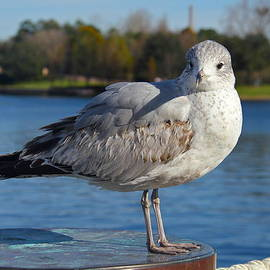 Inquisitive Gull by Denise Mazzocco