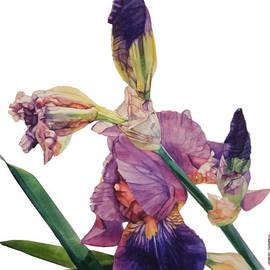 Greta Corens - Watercolor of a Tall Bearded Iris in a Color Rhapsody