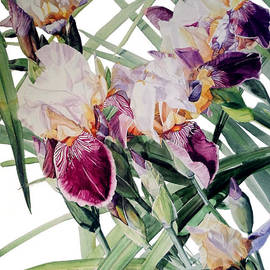 Greta Corens - Watercolor of Tall Bearded Irises I call Iris Vivaldi Spring