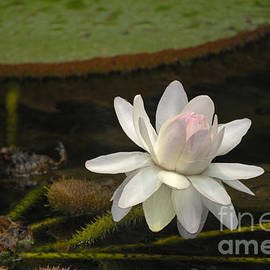 Ischian Water Lily by Brenda Kean