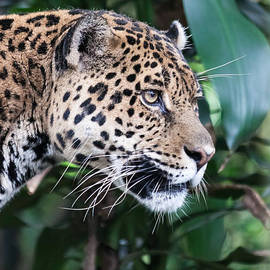 Jaguar by Craig Lapsley