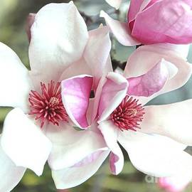 Japanese magnolia by Gayle Miller