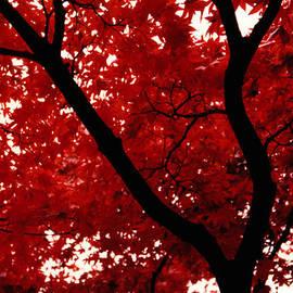 Japanese Maple by Glenn Aker