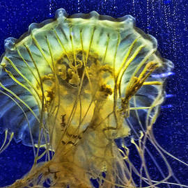 Jellyfish by Janet Maloy