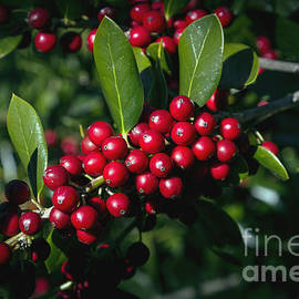 Jolly Holly by Michael Waters