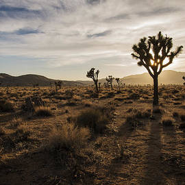 Joshua Tree Sunset Silhouette by Lee Kirchhevel