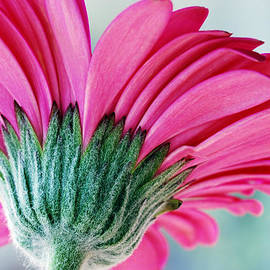 Just A Gerbera by Wendy Wilton