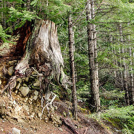 Just Hanging On Old Growth Forest Stump by Roxy Hurtubise