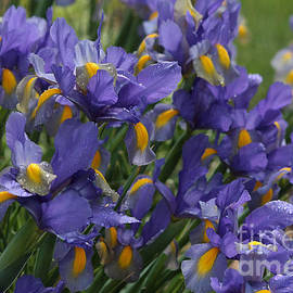 Luv Photography - Just Irises