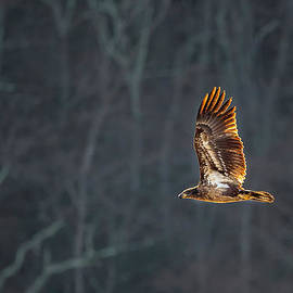 Juvenile American Bald Eagle by Bill Wakeley
