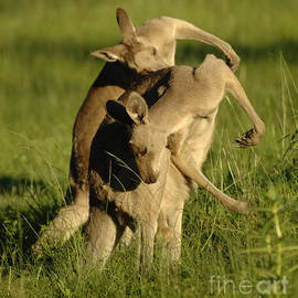 Kangaroos Taking A Bow by Bob Christopher