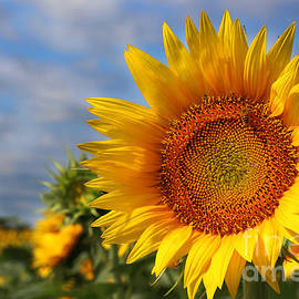 Kansas Sunflowers - 3304 by Gary Gingrich Galleries
