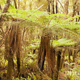 Katote Fern Tree in NZ sub-tropical rainforest by Stephan Pietzko