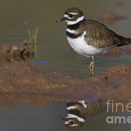 Killdeer reflection by Bryan Keil