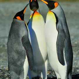 Tony Beck - King Penguins standoff