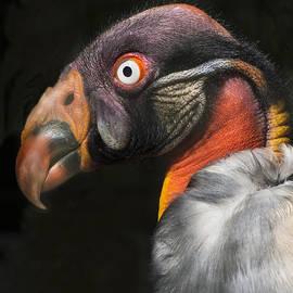 James Ekstrom - King Vulture