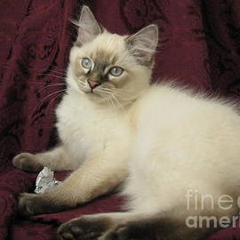 Kitten Lynx Point Long Hair Playing with Paper by Pamela Benham