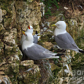 Kittiwakes nesting on the side of a cliff by Louise Heusinkveld