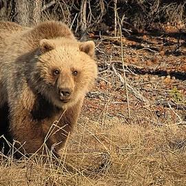 Dyle   Warren - Yukon Grizzly