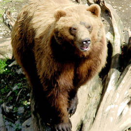 Glenn Aker - Kodiak Bear