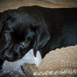 Labrador Puppy by Robert Bales