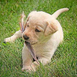 Labrador Retriever Puppy and Feather by Jennie Marie Schell