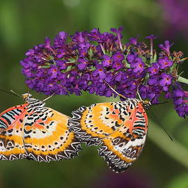 LaceWing Butterfly  Duet by Ruth Jolly