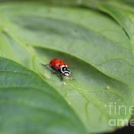 Jennifer Churchman - Lady Beatle Eating an Aphid