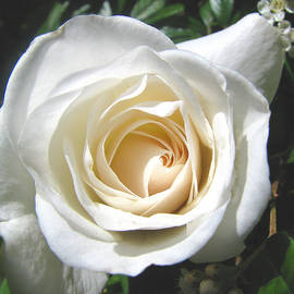 Lady in White - Summer Rose - Floral Photography and Art by Brooks Garten Hauschild