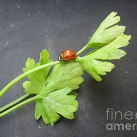 Tara  Shalton - Ladybug on a Parsley Stalk 2