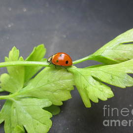 Tara  Shalton - Ladybug on a Parsley Stalk 3