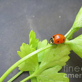 Tara  Shalton - Ladybug on a Parsley Stalk 4