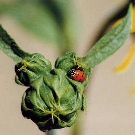 Diane Backs-Mancuso - Ladybug on Sunflower Bud