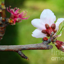 Debra Thompson - Ladybug Walking on Branch