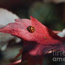 Luv Photography - Ladybugs