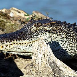Susie Hoffpauir - Lake Martin Alligator