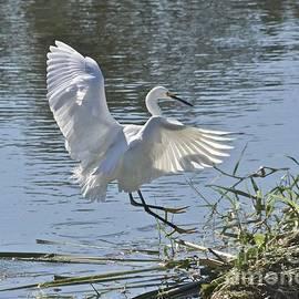 Egret Landing by Carol  Bradley