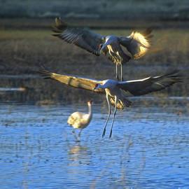 Steven Ralser - Landing sandhill cranes