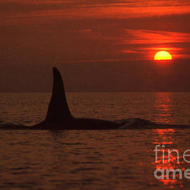 Large male Orca at Sunset off of San Juan Island Washington Pa Hathaway  1986 by Mr Pat Hathaway Archives