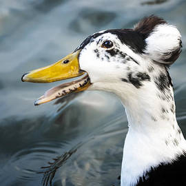Caitlyn  Grasso - Laughing  Duck
