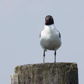 JOHN TELFER - Laughing Gull at Captree Boat Basin