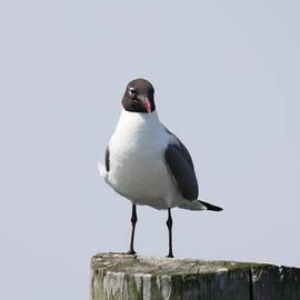 JOHN TELFER - Laughing Gull Posing For Photo