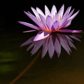 Lavender Reflections by Sabrina L Ryan