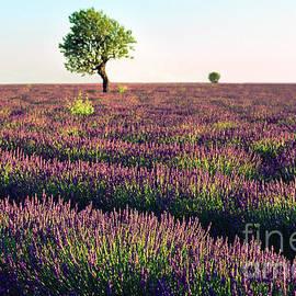 Lavende de Provence  by Kim Lessel